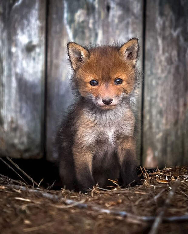 ossi-saarinen-baby-fox-photography-8