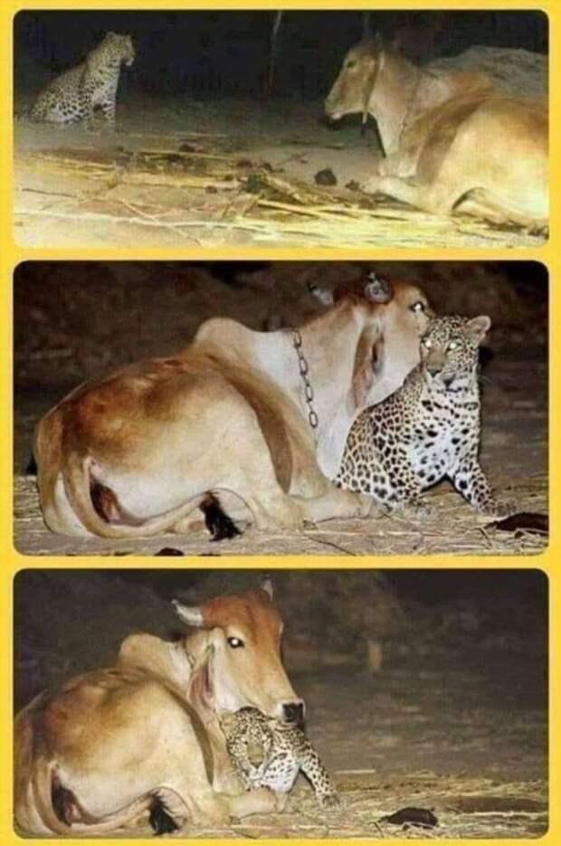 И лев возляжет рядом с агнцем (1 фото)
