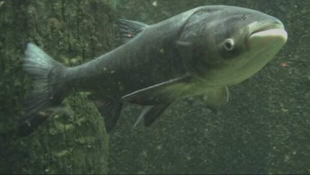 Толстолобик: Пресноводный кит застойных водоёмов. Почему у нас эта рыба полезная, а в Америке устроила эко катастрофу?