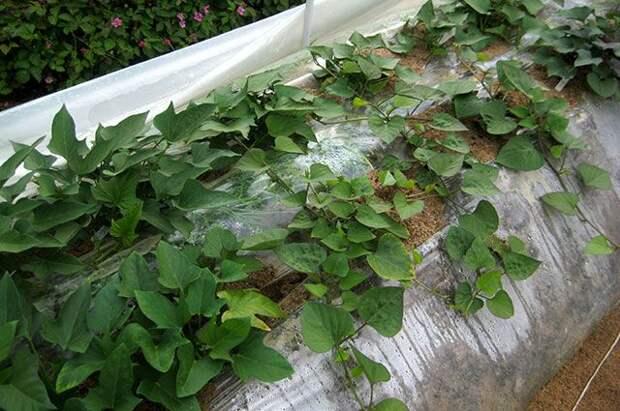 3 секрета выращивания батата в северных регионах