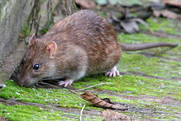 Крысы больше кошек: на острове Тимор обитали 5-килограммовые крысы