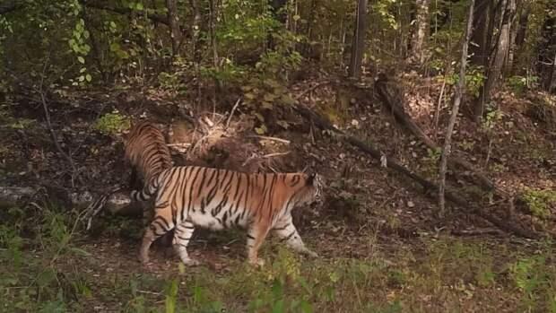 Общение амурского тигра с оленем попало в объектив фотоловушки