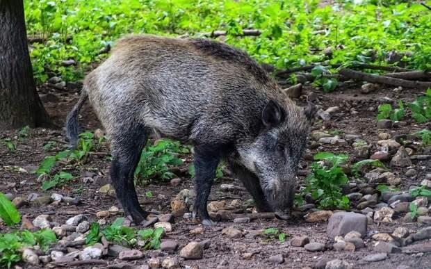 В Рязанской области у жилых домов заметили стадо кабанов