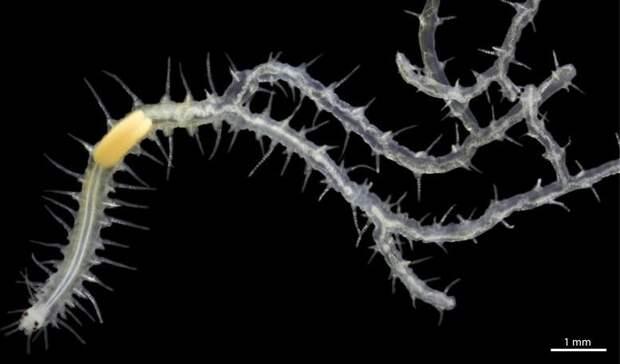 Странный морской червь ветвится и выживает без пищи внутри губок