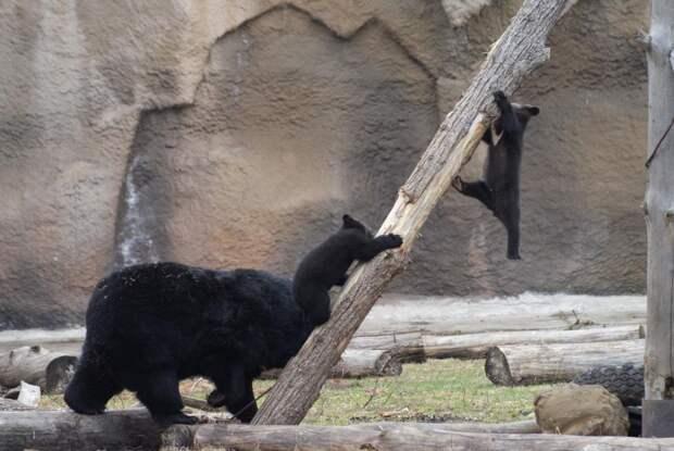 Гималайские медвежата в зоопарке Удмуртии получили имена