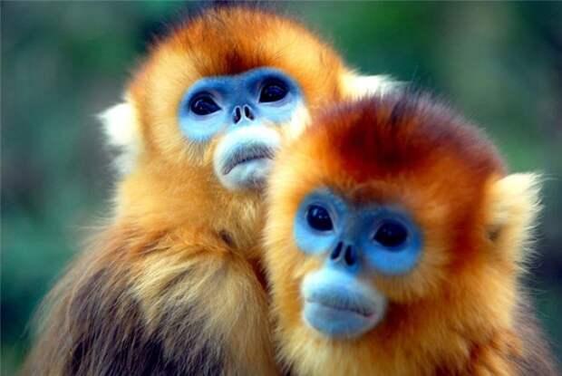 Золотые обезьяны