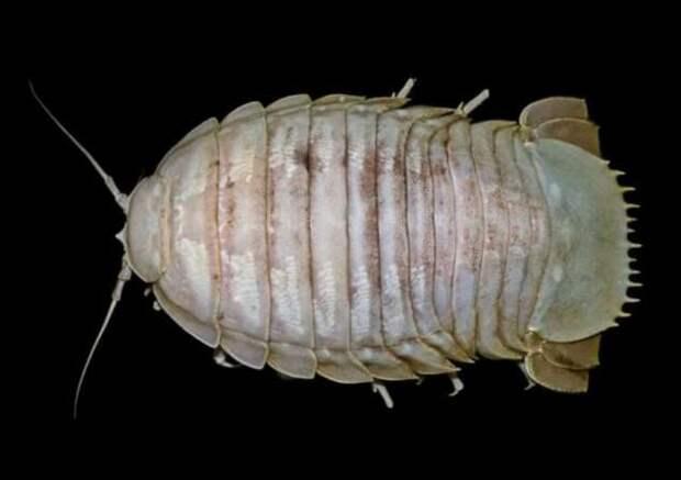 На дне морей и океанов найдены животные, похожие на Дарта Вейдера (4 фото)