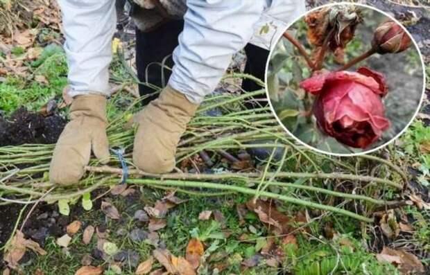 5 распространенных ошибок, которые сводят на нет подготовку роз к зиме