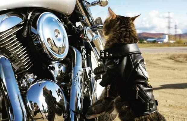 Крутость некоторых котов просто зашкаливает! животные, кот байкера, кот на мотоцикле, коты, кошки, мото