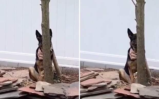 «Я тебя вижу»: овчарка «ловко» спряталась, чтобы не заходить домой