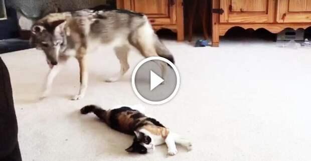 Волк подкрался к кошке...