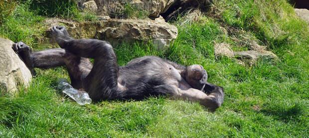 Для шимпанзе в двух чешских зоопарках установили Zoom
