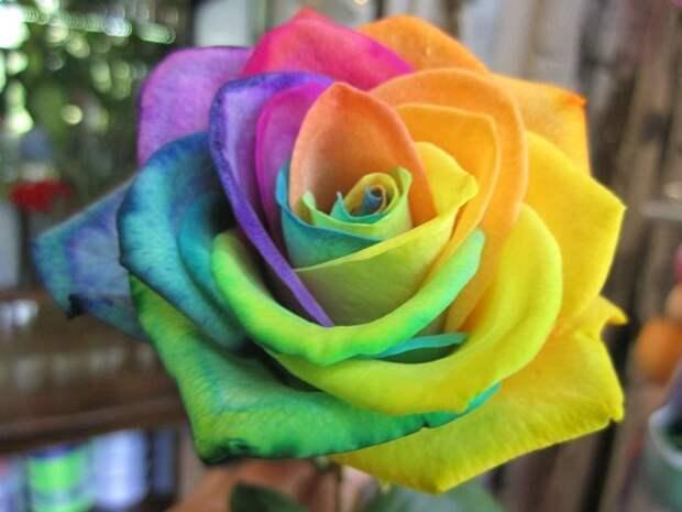 Такого откровенного обмана мы ещё не видели! Семена радужной розы!