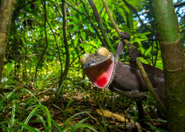 Ухмыляющийся геккон— мастер камуфляжа