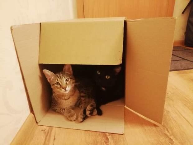 Ученые: Кошки любят сидеть не только в настоящих коробках, но и в воображаемых