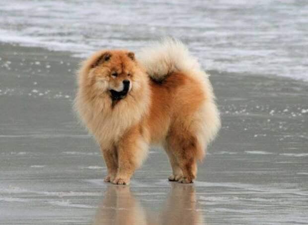 Чау-чау больших, бульдог, до маленьких, питомец, породы, собак, такса