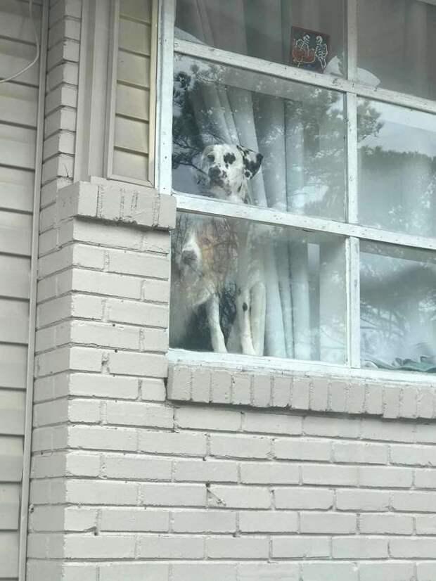собаки в окне