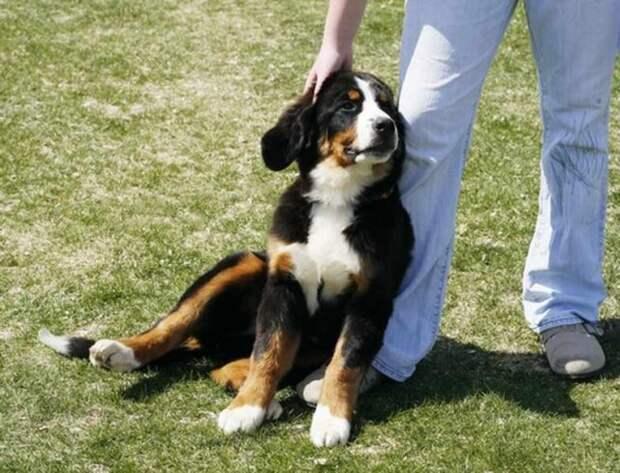 Собака льнет к ноге хозяина