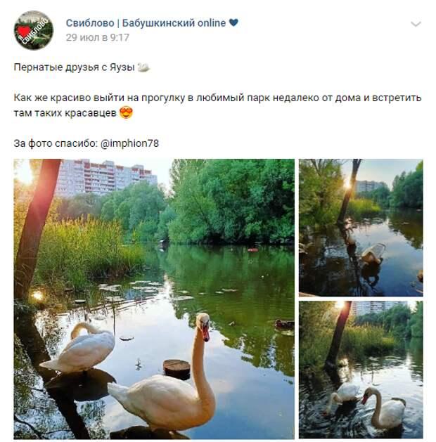 Лебеди на Яузе поражают горожан грациозностью