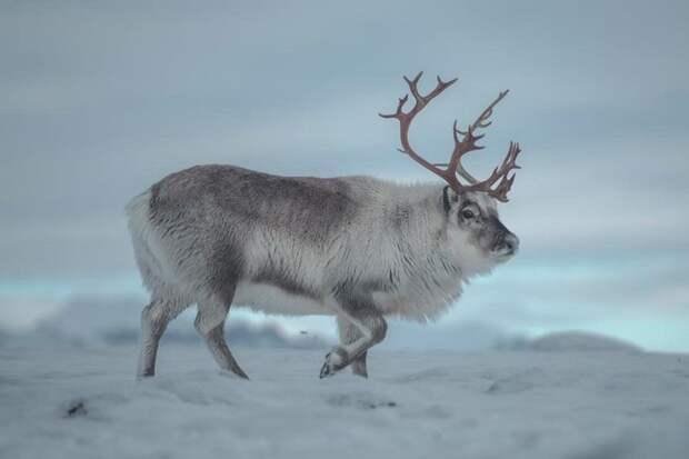 Как живется самым маленьким в мире северным оленям на Шпицбергене