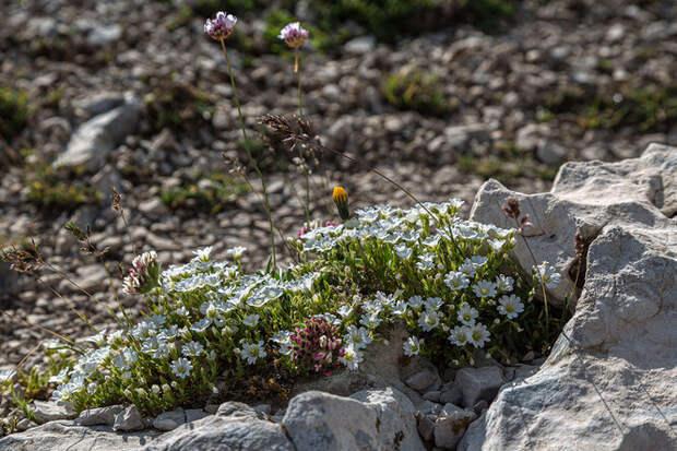 Камнеломка и другие почвопокровные: 7 лучших многолетников