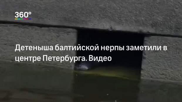 Детеныша балтийской нерпы заметили в центре Петербурга. Видео