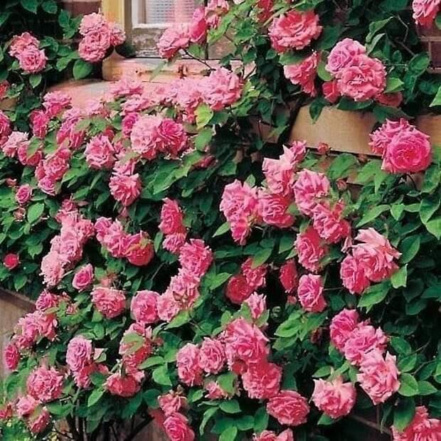 Роза Зифирин
