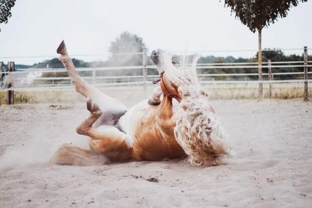 Резвится голландия, девушка, животные, красота, лошадь, фото, шевелюра