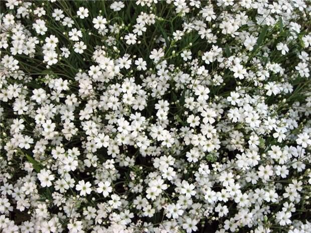 Все о растениях и цветах! Гипсофила многолетняя