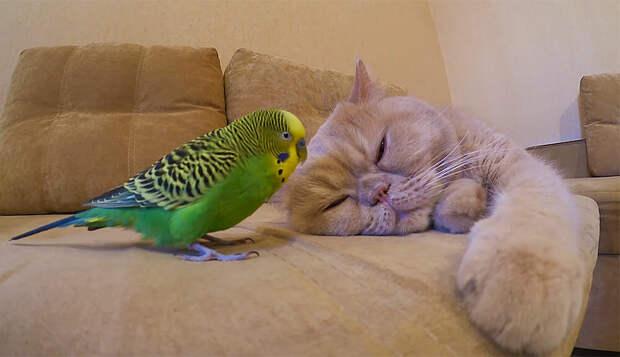 Купили попугая, чтобы взбодрить кота