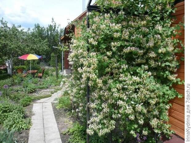 Лиановидная жимолость прекрасно подходит для вертикального озеленения (Фото с сайта dachnaya-zhizn.ru)