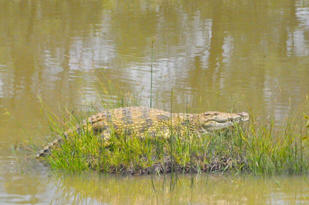 Как лев спас соплеменника от крокодила: видео
