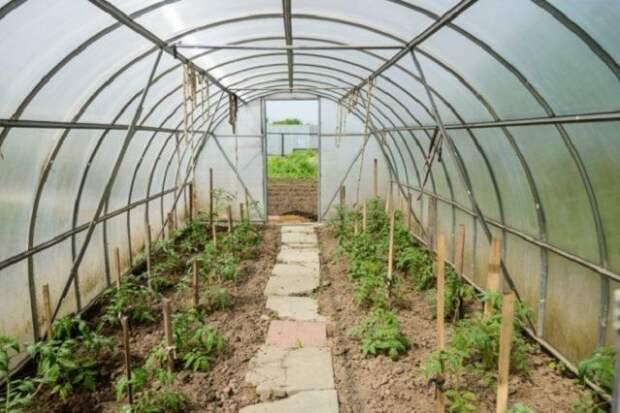 уход за рассадой томатов в теплице