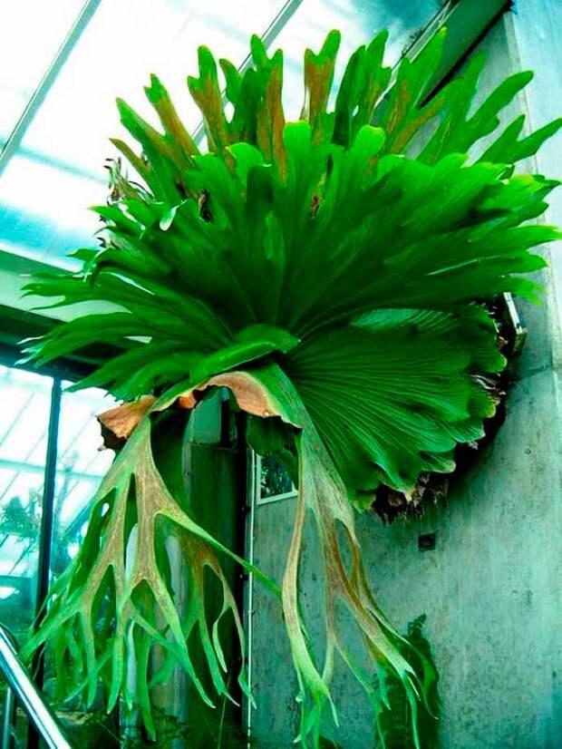 Комнатное растение Платицериум (Platicerium)