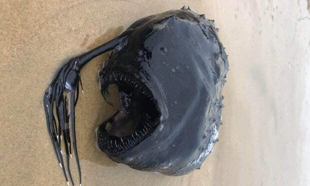 На берегу моря нашли глубоководного удильщика: зловещее фото