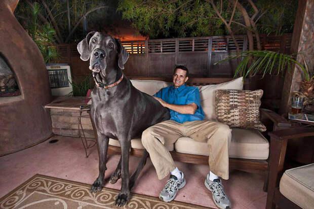 Собака-великан