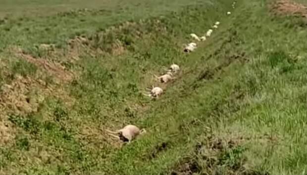 Названа предварительная причина гибели 372 голов сайги в ЗКО