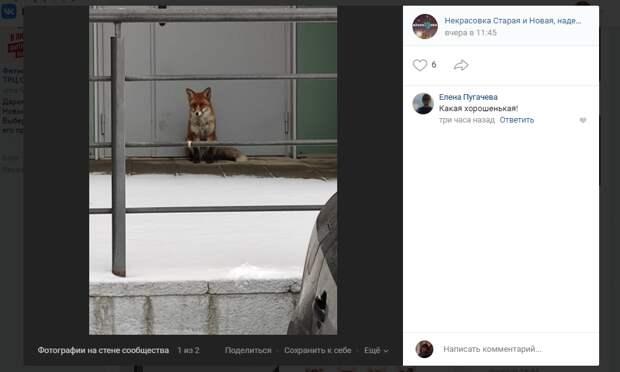 Ручную лису вновь встретили на проспекте Защитников Москвы