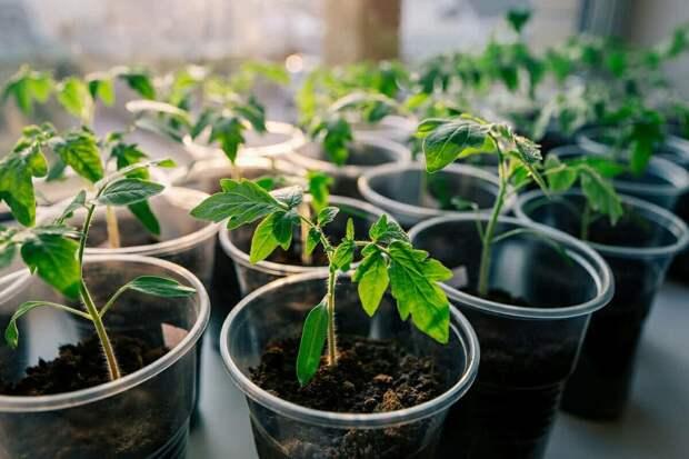 Как я выращиваю рассаду без особых усилий.