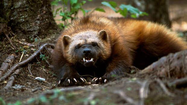 Опасная росомаха: зверь, которого сторонятся даже волки