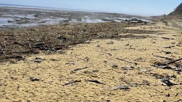 Жители Сахалина ведрами собирают выброшенную на берег икру для удобрения огородов