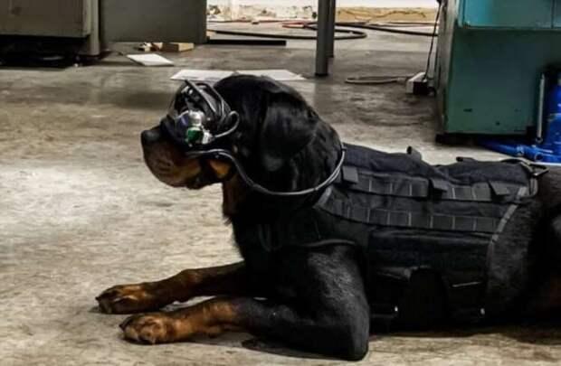Очки дополненной реальности для собак. Для чего они нужны?