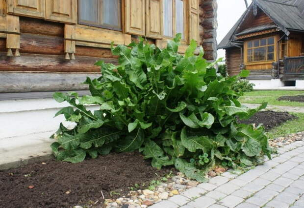 Выращивание хрена: размножение, посадка корнем осенью и уход в открытом грунте