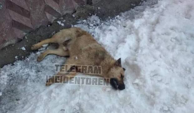 Жители дома на пр. Гагарина в Оренбурге заявили о массовом отравлении собак (18+)