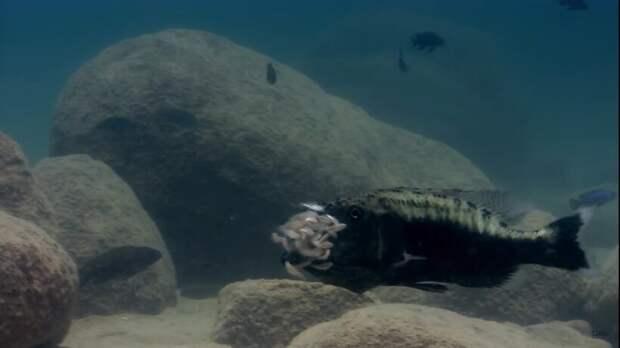 Маутбрудеры: рыба вовсе не ест мальков, просто она их мама и выращивает их во рту
