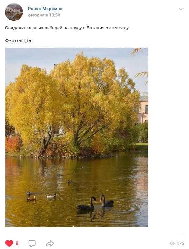 Лебеди устроили свидание в Ботаническом саду