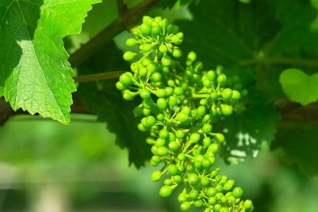 Дачник из Германии выкорчевал растения, что портили урожай винограда