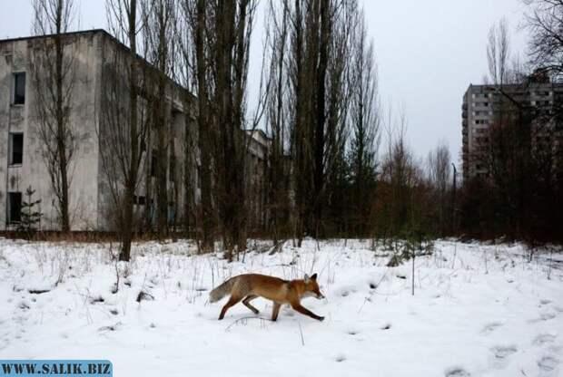 Взрыв реактора мог превратить Чернобыль в рай на земле