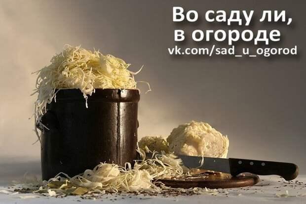 Сорта капусты для засолки и зимнего хранения