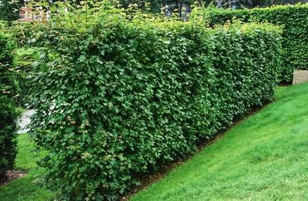 Клен полевой (Acer campestre)